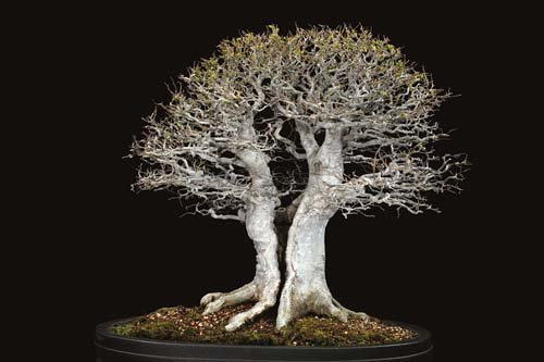 12-chau-cay-bonsai-co-tuoi-doi-tu-30-den-gan-300-nam-khien-ai-nhin-cung-tram-tro-10