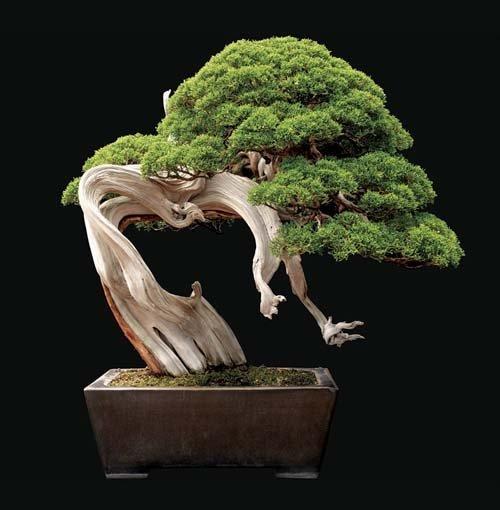 12-chau-cay-bonsai-co-tuoi-doi-tu-30-den-gan-300-nam-khien-ai-nhin-cung-tram-tro-12