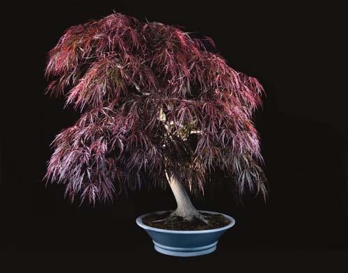 12-chau-cay-bonsai-co-tuoi-doi-tu-30-den-gan-300-nam-khien-ai-nhin-cung-tram-tro-4