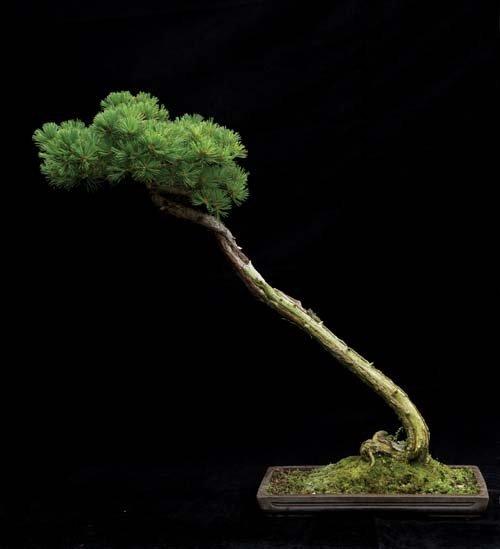 12-chau-cay-bonsai-co-tuoi-doi-tu-30-den-gan-300-nam-khien-ai-nhin-cung-tram-tro-6