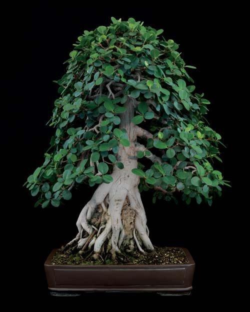 12-chau-cay-bonsai-co-tuoi-doi-tu-30-den-gan-300-nam-khien-ai-nhin-cung-tram-tro-7
