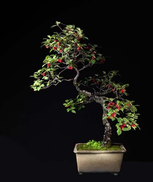 12-chau-cay-bonsai-co-tuoi-doi-tu-30-den-gan-300-nam-khien-ai-nhin-cung-tram-tro-8