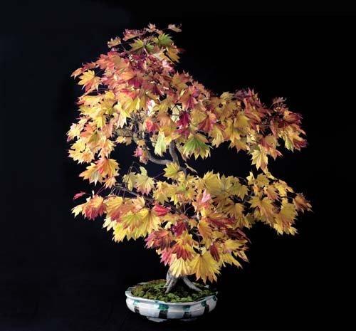 12-chau-cay-bonsai-co-tuoi-doi-tu-30-den-gan-300-nam-khien-ai-nhin-cung-tram-tro-9