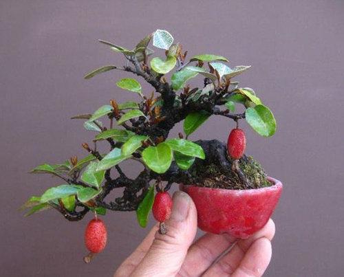 10-chau-bonsai-cay-trai-mini-sieu-dep-dung-trang-tri-nha-dip-tet-1