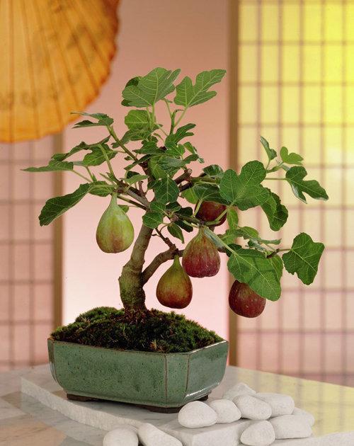 10-chau-bonsai-cay-trai-mini-sieu-dep-dung-trang-tri-nha-dip-tet-10
