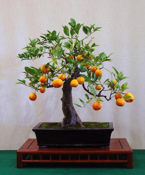 10-chau-bonsai-cay-trai-mini-sieu-dep-dung-trang-tri-nha-dip-tet-2