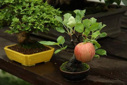 10-chau-bonsai-cay-trai-mini-sieu-dep-dung-trang-tri-nha-dip-tet-4