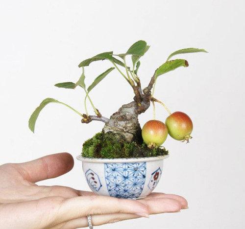 10-chau-bonsai-cay-trai-mini-sieu-dep-dung-trang-tri-nha-dip-tet-5
