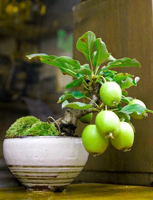 10-chau-bonsai-cay-trai-mini-sieu-dep-dung-trang-tri-nha-dip-tet-8