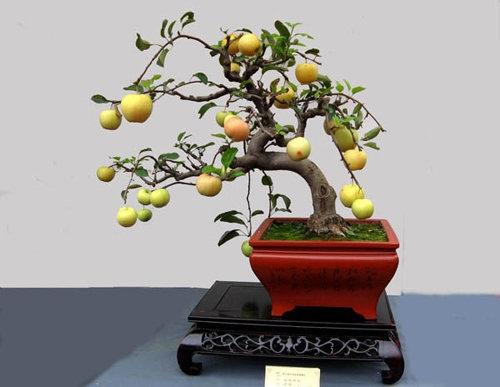 10-loai-cay-an-qua-cuc-hop-trong-chau-bonsai-1