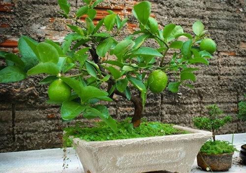 10-loai-cay-an-qua-cuc-hop-trong-chau-bonsai-4