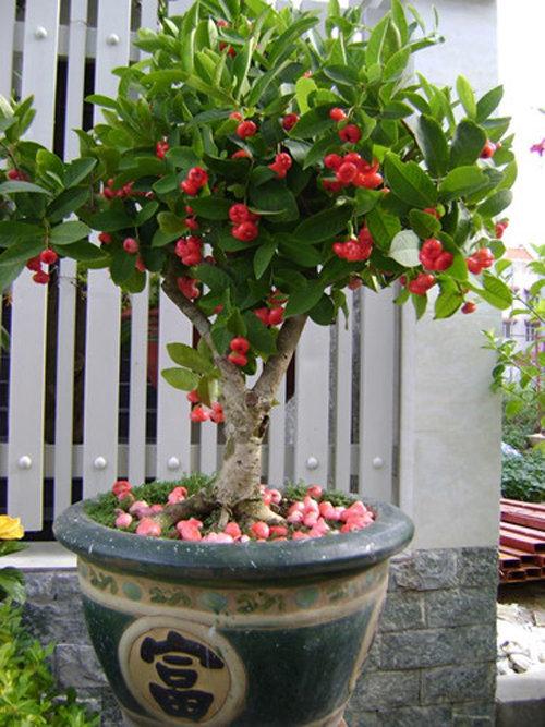 10-loai-cay-an-qua-cuc-hop-trong-chau-bonsai-8