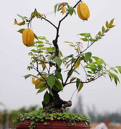 10-loai-cay-an-qua-cuc-hop-trong-chau-bonsai-9