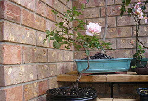chiem-nguong-10-chau-bonsai-hoa-sieu-dep-choi-tet-1