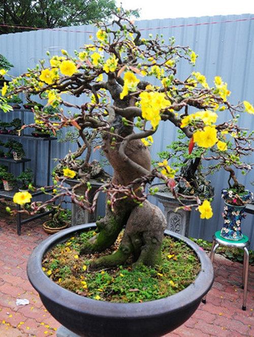 chiem-nguong-10-chau-bonsai-hoa-sieu-dep-choi-tet-10