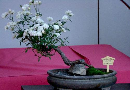 chiem-nguong-10-chau-bonsai-hoa-sieu-dep-choi-tet-2