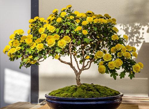 chiem-nguong-10-chau-bonsai-hoa-sieu-dep-choi-tet-3