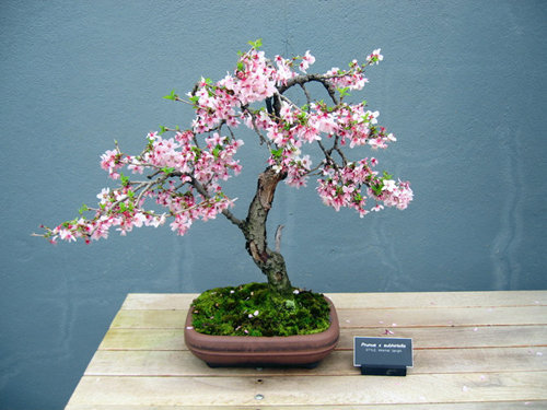 chiem-nguong-10-chau-bonsai-hoa-sieu-dep-choi-tet-4