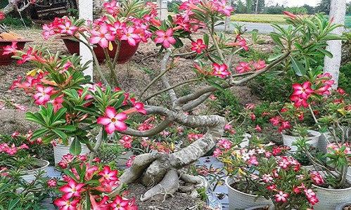 chiem-nguong-10-chau-bonsai-hoa-sieu-dep-choi-tet-6