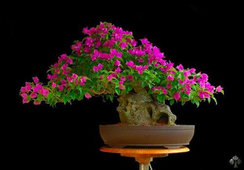 chiem-nguong-10-chau-bonsai-hoa-sieu-dep-choi-tet-7