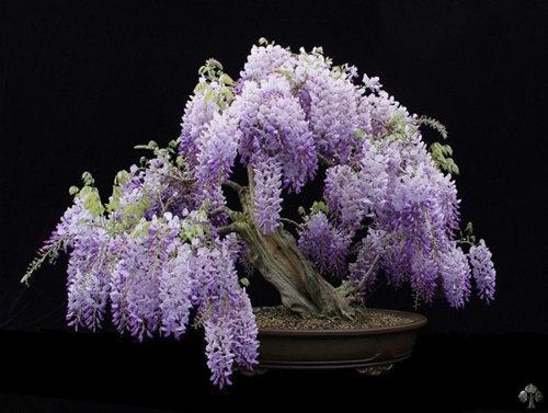 chiem-nguong-10-chau-bonsai-hoa-sieu-dep-choi-tet-8