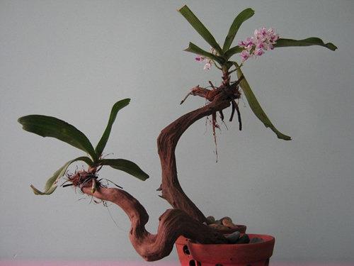 chiem-nguong-10-chau-bonsai-hoa-sieu-dep-choi-tet-9