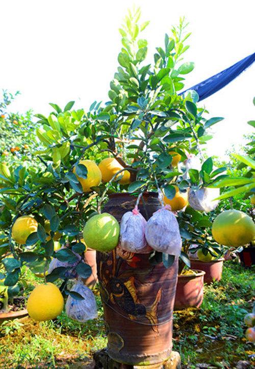 buoi-bonsai-gia-ban-tu-7-trieu-bung-lua-don-tet-nguyen-dan-1