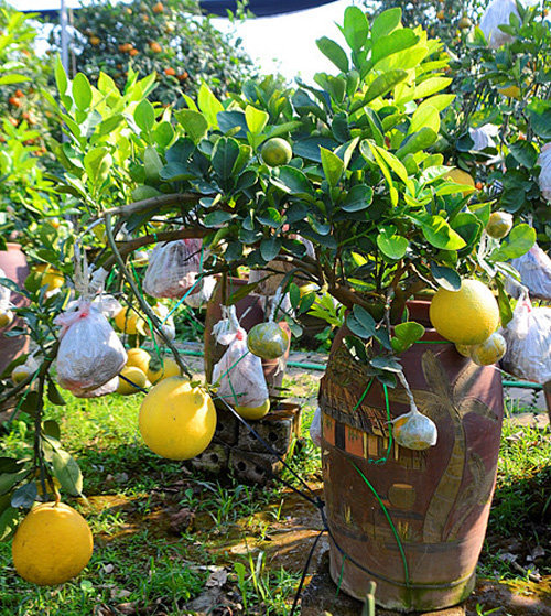 buoi-bonsai-gia-ban-tu-7-trieu-bung-lua-don-tet-nguyen-dan-11