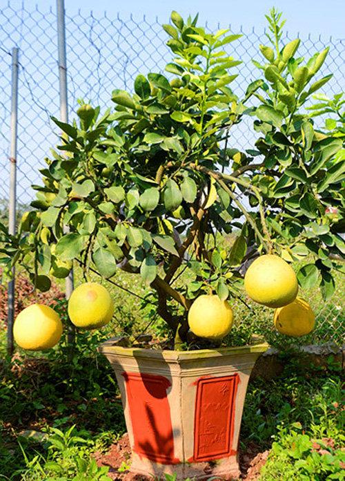 buoi-bonsai-gia-ban-tu-7-trieu-bung-lua-don-tet-nguyen-dan-12