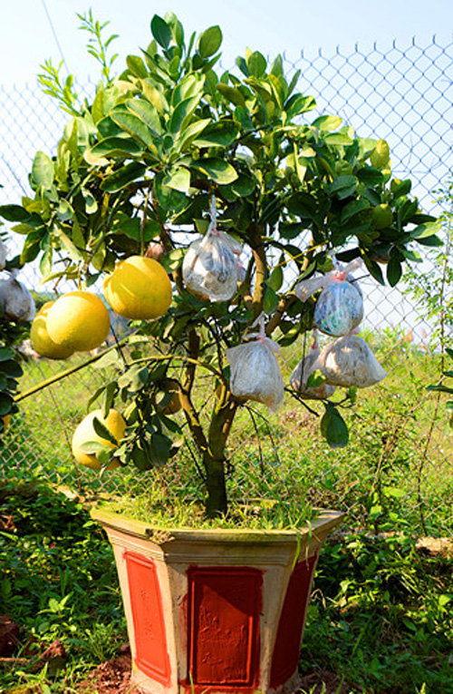 buoi-bonsai-gia-ban-tu-7-trieu-bung-lua-don-tet-nguyen-dan-13