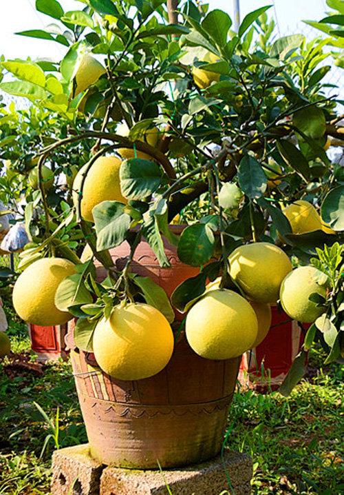 buoi-bonsai-gia-ban-tu-7-trieu-bung-lua-don-tet-nguyen-dan-14