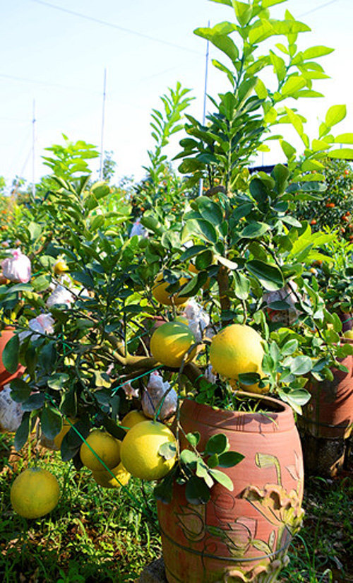 buoi-bonsai-gia-ban-tu-7-trieu-bung-lua-don-tet-nguyen-dan-15