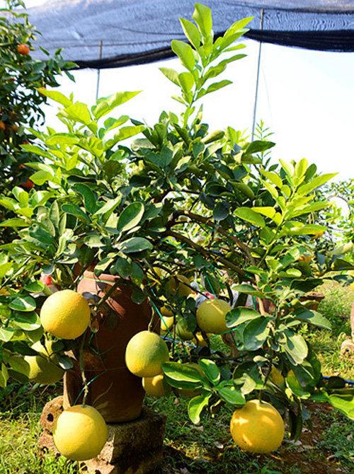 buoi-bonsai-gia-ban-tu-7-trieu-bung-lua-don-tet-nguyen-dan-16