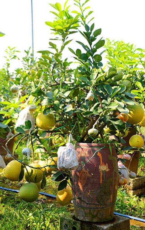 buoi-bonsai-gia-ban-tu-7-trieu-bung-lua-don-tet-nguyen-dan-17