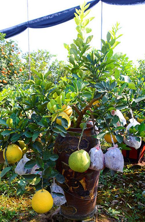 buoi-bonsai-gia-ban-tu-7-trieu-bung-lua-don-tet-nguyen-dan-18