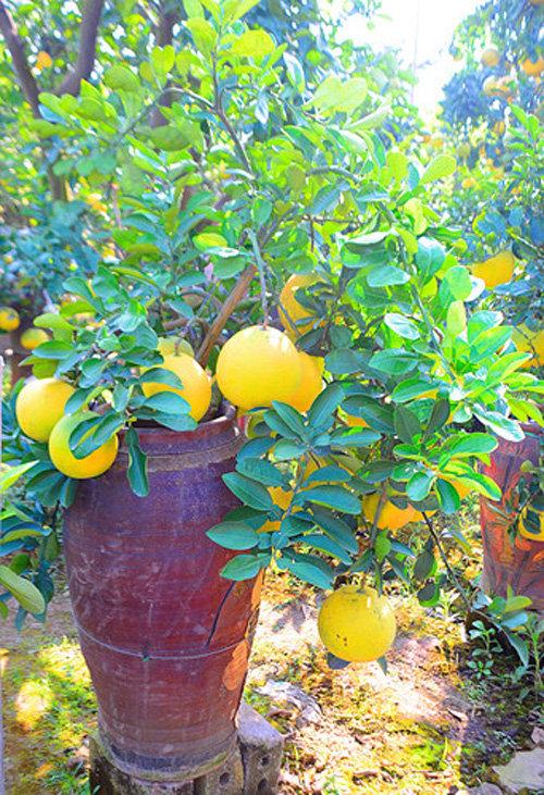 buoi-bonsai-gia-ban-tu-7-trieu-bung-lua-don-tet-nguyen-dan-19