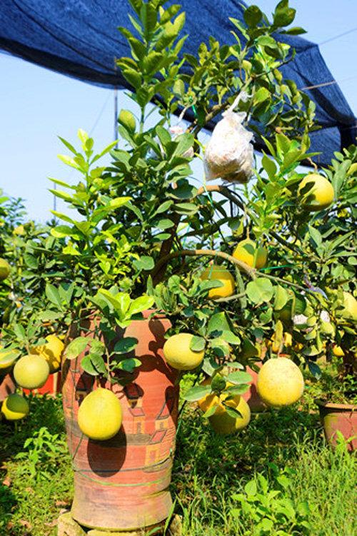 buoi-bonsai-gia-ban-tu-7-trieu-bung-lua-don-tet-nguyen-dan-2