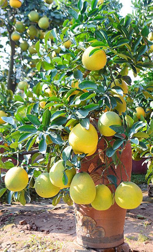 buoi-bonsai-gia-ban-tu-7-trieu-bung-lua-don-tet-nguyen-dan-20