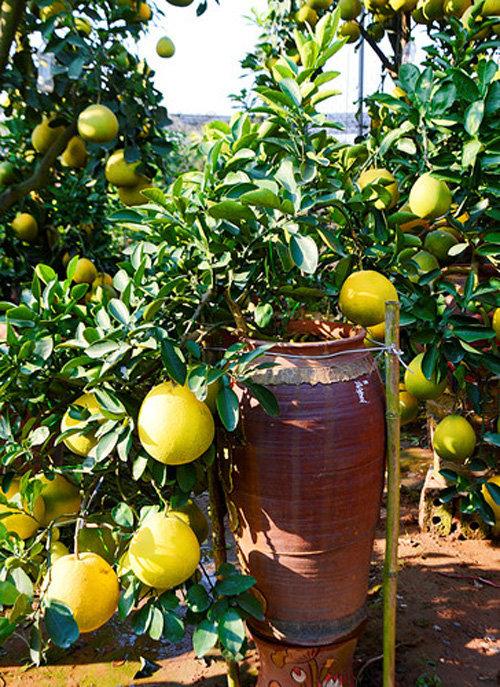 buoi-bonsai-gia-ban-tu-7-trieu-bung-lua-don-tet-nguyen-dan-22