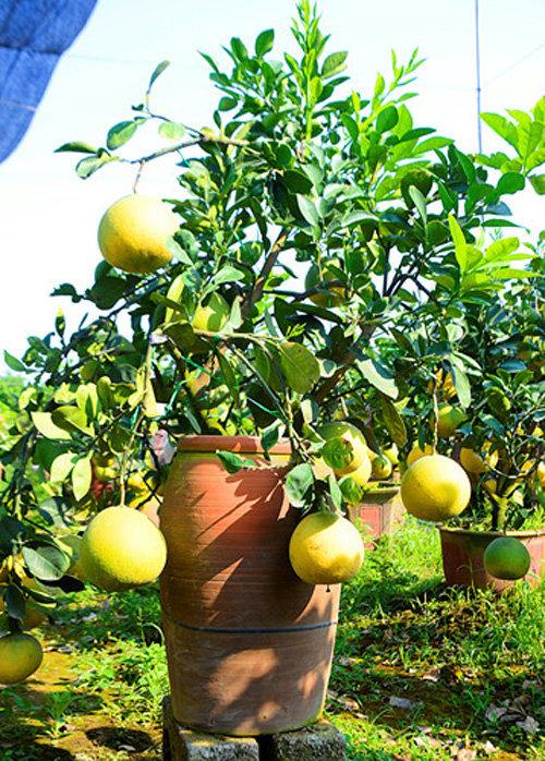 buoi-bonsai-gia-ban-tu-7-trieu-bung-lua-don-tet-nguyen-dan-3