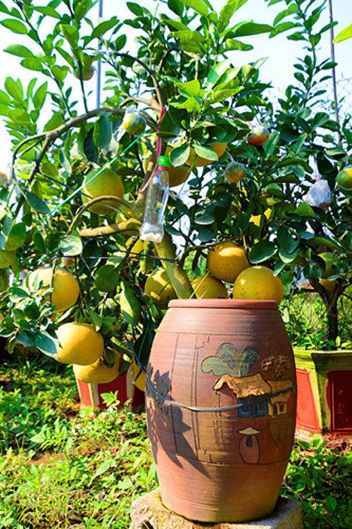 buoi-bonsai-gia-ban-tu-7-trieu-bung-lua-don-tet-nguyen-dan-5