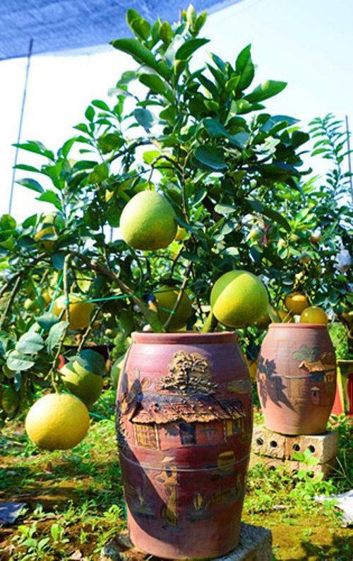 buoi-bonsai-gia-ban-tu-7-trieu-bung-lua-don-tet-nguyen-dan-6
