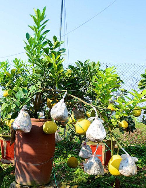 buoi-bonsai-gia-ban-tu-7-trieu-bung-lua-don-tet-nguyen-dan-7