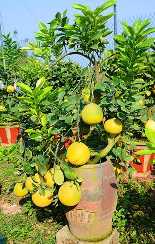 buoi-bonsai-gia-ban-tu-7-trieu-bung-lua-don-tet-nguyen-dan-8