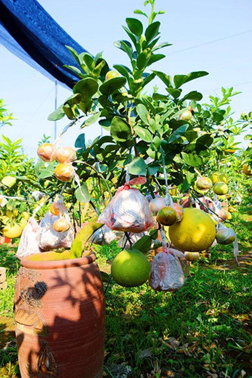 buoi-bonsai-gia-ban-tu-7-trieu-bung-lua-don-tet-nguyen-dan-9