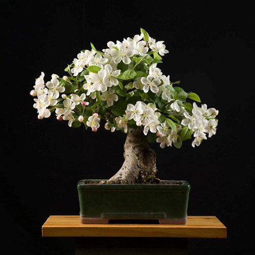 chiem-nguong-loat-cay-bonsai-no-hoa-ruc-ro-vua-tam-tay-choi-tet-4