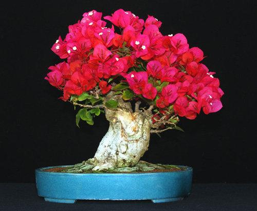 chiem-nguong-loat-cay-bonsai-no-hoa-ruc-ro-vua-tam-tay-choi-tet-5