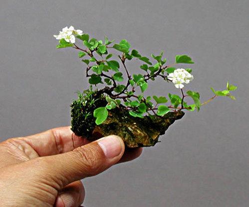 chiem-nguong-loat-cay-bonsai-no-hoa-ruc-ro-vua-tam-tay-choi-tet-7