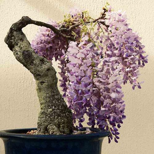chiem-nguong-loat-cay-bonsai-no-hoa-ruc-ro-vua-tam-tay-choi-tet-8