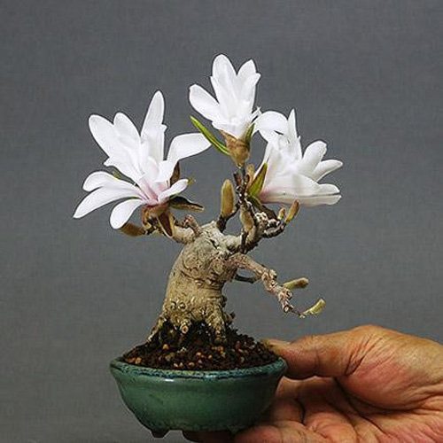 chiem-nguong-loat-cay-bonsai-no-hoa-ruc-ro-vua-tam-tay-choi-tet-9